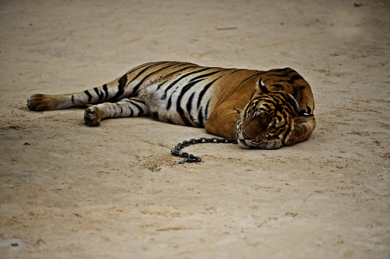 exploitation tigre