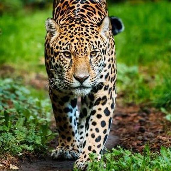 Run for the jaguar