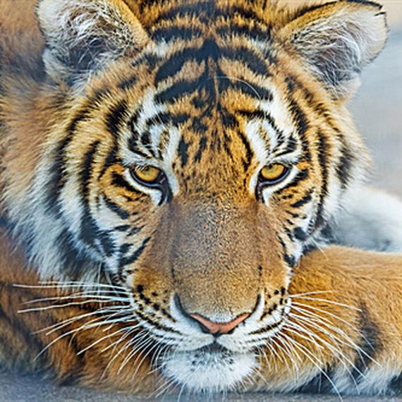 Stop au massacre des Tigres.
