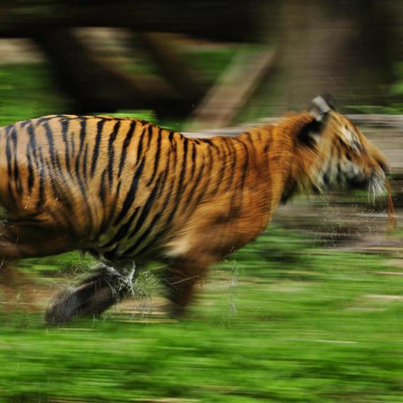 Run as a Tiger Celine, Run !