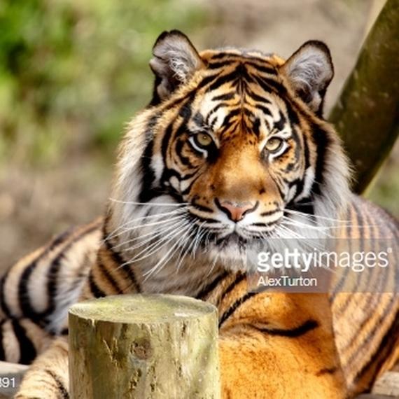Save the Panthera tigris tigris